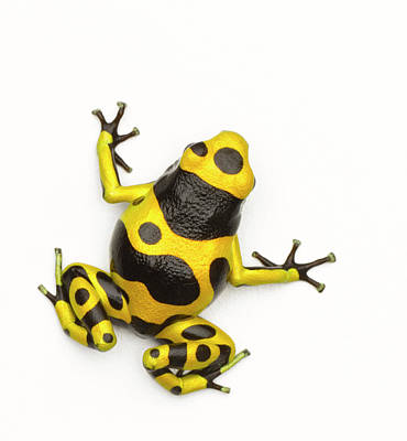 Poison Dart Frog Poster by Don Farrall