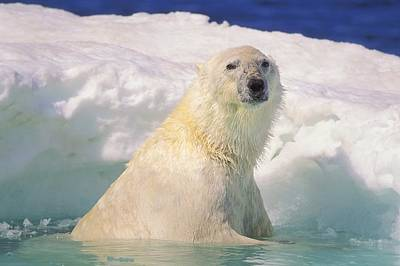 Polar Bear In Ice Pool Poster by John Pitcher