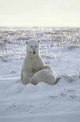 Polar Bear Mother Nursing Cub Churchill Poster