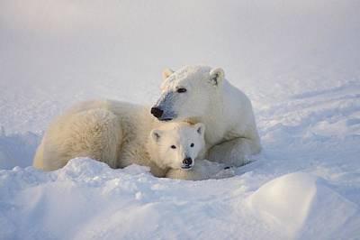 Polar Bear Sow With Cub Poster by John Pitcher