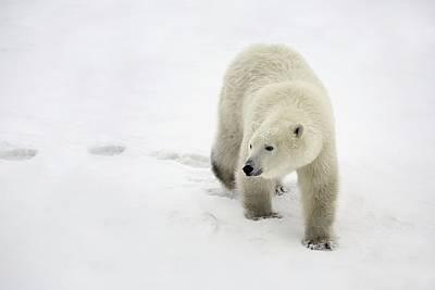 Polar Bear Walking Poster by Richard Wear