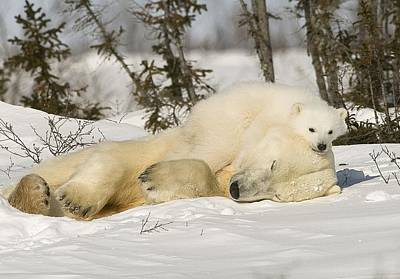 Polar Bear With Cub In Snow Poster by Robert Brown