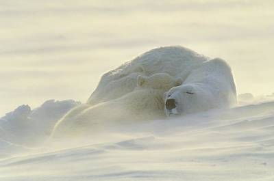 Polar Bears Sleeping At Sunset Poster by John Pitcher