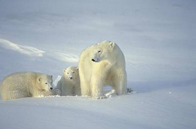 Polar Bears With Cubs Poster by John Pitcher