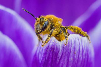 Pollen-covered Bee On Crocus Poster