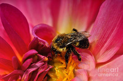 Pollen Covered  Poster by Elaine Manley