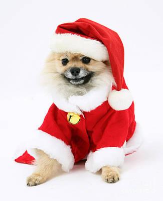 Pomeranian Santa Poster by Mark Taylor