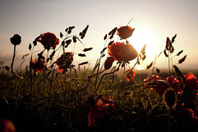 Poppies And Grasses Poster