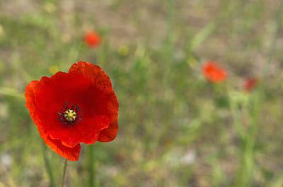 Poppies At Spring (close-up) Poster by Sami Sarkis