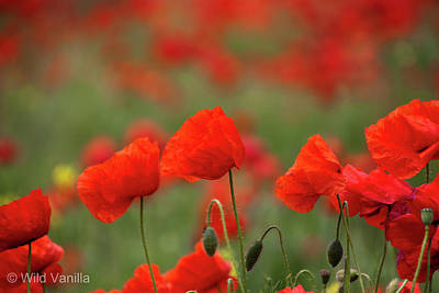 Poppies Poster by Copyright Wild Vanilla