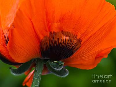 Poppy Close-up Poster by Lutz Baar