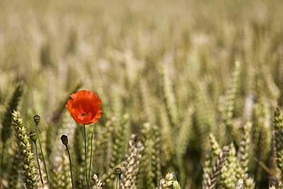 Poppy Flower In Field Of Wheat Poster by John Short
