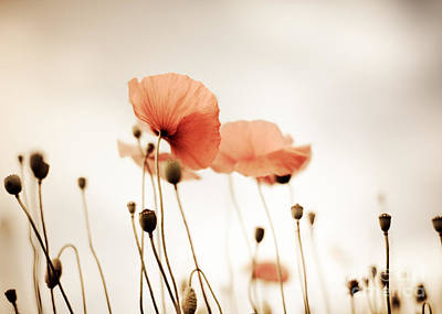 Poppy Flowers 14 Poster by Nailia Schwarz