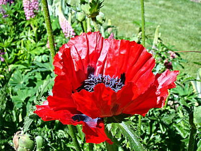 Poster featuring the photograph Poppy by Nick Kloepping
