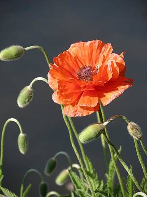 Poster featuring the photograph Poppy by Rebecca Overton