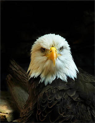 Poster featuring the photograph Portrait American Bald Eagle by Randall Branham