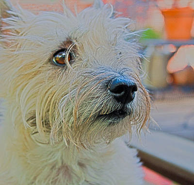Portrait Of A Cairn Terrier Poster