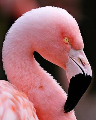 Portrait Of A Flamingo Poster