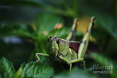 Portrait Of A Grasshopper Poster