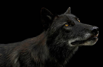 Portrait Of A Gray Wolf, Canis Lupus Poster by Joel Sartore