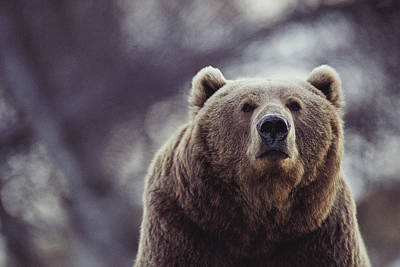 Portrait Of A Kodiak Brown Bear Poster