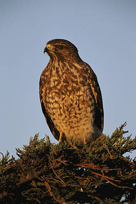 Portrait Of A Red Shouldered Hawk Poster by Roy Toft