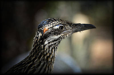 Portrait Of A Roadrunner  Poster by Saija  Lehtonen