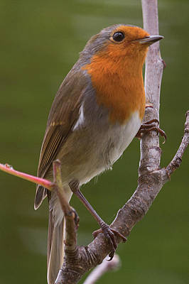 Portrait Of A Robin Poster