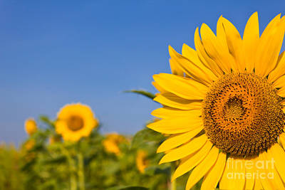 Portrait Of A Sunflower In The Field  Poster