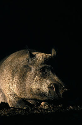 Portrait Of A Wild Boar Poster