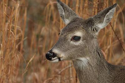 Portrait Of  Browsing Deer Poster