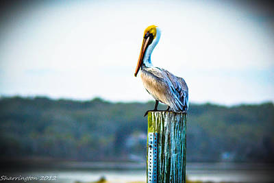Poster featuring the photograph Posing Pelican by Shannon Harrington