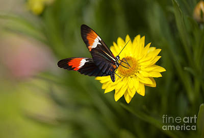 Postman Butterfly On Yellow Straw Flower Poster