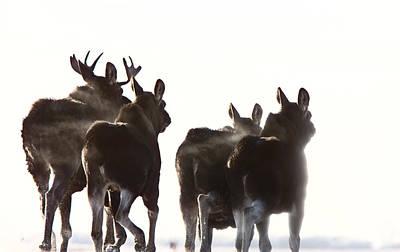 Prairie Moose Saskatchewan Poster