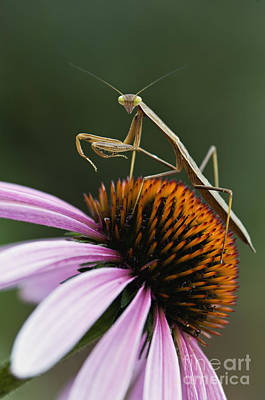 Praying Mantis And Coneflower - D008024 Poster by Daniel Dempster