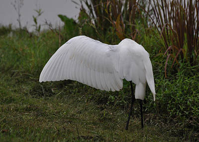 Preening Egret  - Egrtc3249a Poster by Paul Lyndon Phillips