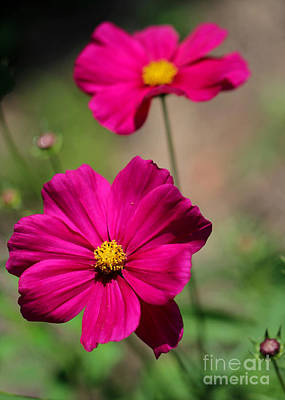 Pretty Cosmos Flowers Poster