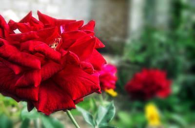 Pretty Red Rose Poster by Dumindu Shanaka