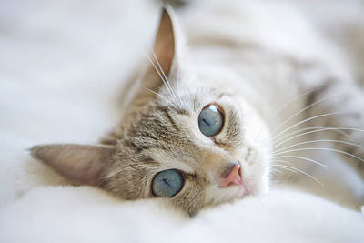 Pretty White Cat With Blue Eyes Laying On Couch. Poster