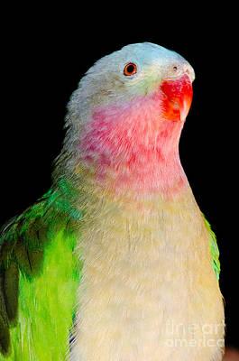 Princess Parrot Polytelis Alexandrae Western Australia Poster by Andy Smy