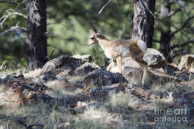 Pronghorn Antelope Fawn Poster