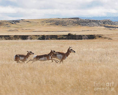Pronghorn Antelopes On The Run Poster by Art Whitton