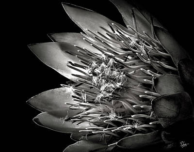 Protea In Black And White Poster
