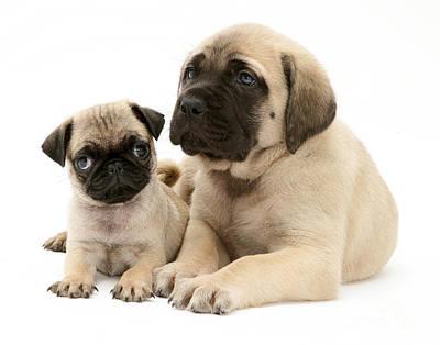 Pug And English Mastiff Puppies Poster