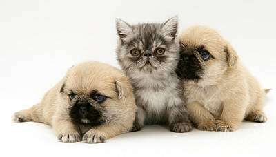 Pugzu Puppies Poster by Jane Burton