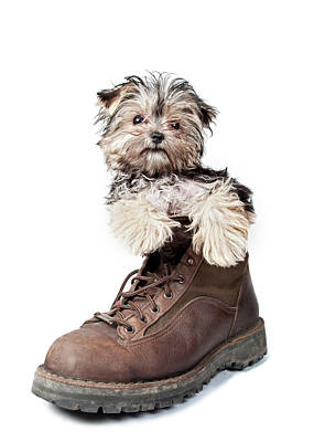 Puppy In A Boot Poster by Chad Latta