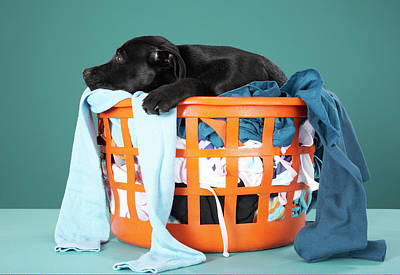 Puppy Lying In Laundry Basket Poster by Martin Poole