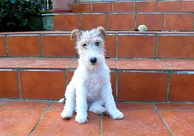 Puppy Of Fox Terrier Poster by Paula Sierra