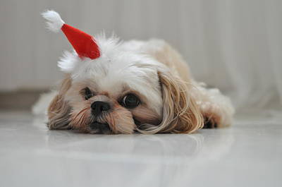 Puppy Wearing Santa Hat Poster