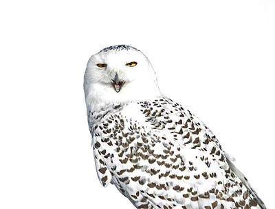 Purity- Snowy Owl In The Winter Snow Poster